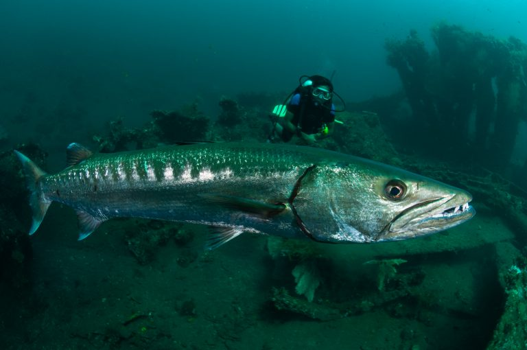 Great barracuda with a diver on the Liberty Wreck at Tulamben, Bali, Indonesia. Great barracuda with a diver on the Liberty Wreck at Tulamben, Bali, Indonesia. Tulamben is located on Bali's NE coast and has become very popular with divers and photographers.  The area is famous for the wreck of the USAT Libery Glo, a WWII era ship that lies just off the beach in Tulamben village.  The areas is also very well known for its high marine biodiversity. Bali is a very popular holiday destination for divers and offers a wide variety of different types of diving, from reefs and wrecks to mucks sites such as Puri Jati and Gilimanuk.