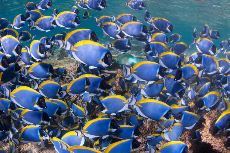 maldives_south_ari_powder_blue_surgeonfish